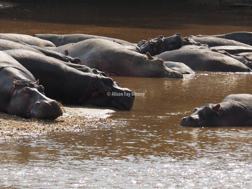 Hippos sleep on the banks of a river bordering Uganda and the Congo.