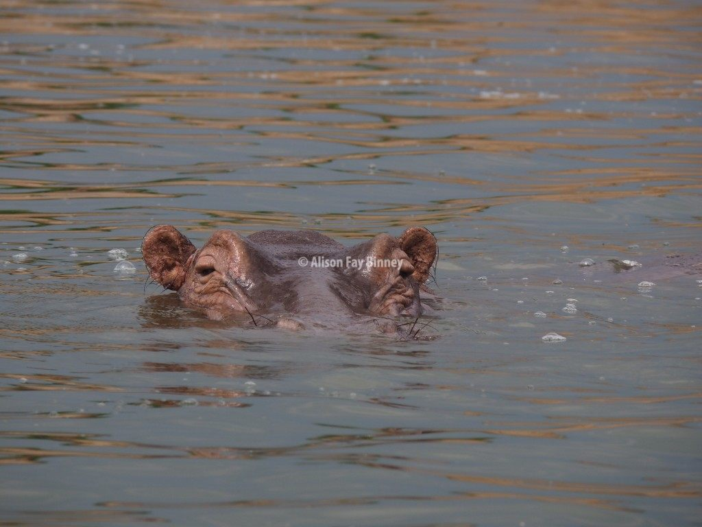 Hippos swim in the Kazinga Channel in Queen Elizabeth National Park in Uganda.