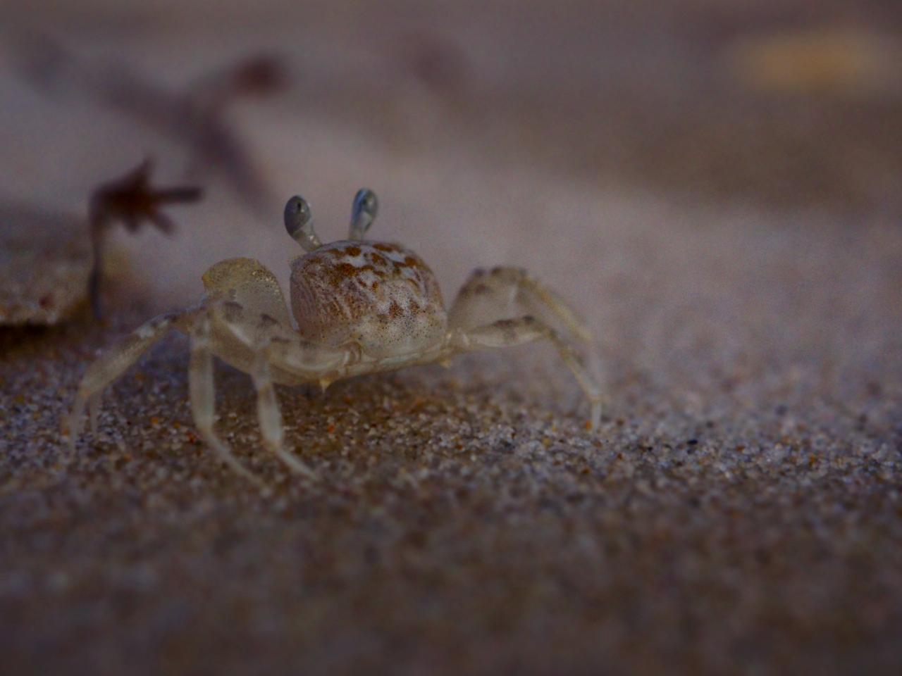 Sand Bubbler Crab. Image: Alison Binney