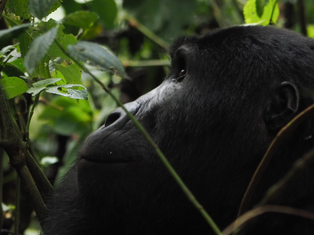 Nshongi gorilla group, Impenetrable National Park in Uganda. Image: Alison Binney