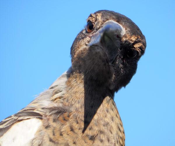 Baby Magpie, Nundah